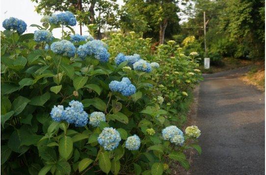 ●住まいから徒歩13分浄慶寺 6月初めの紫陽花。