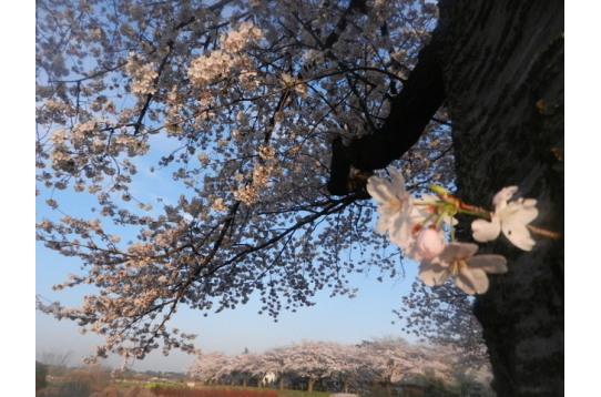 すぐ近くに、駅へ続く桜並木があります。