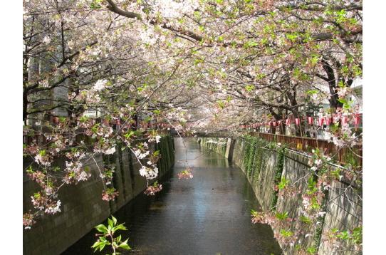 ●目黒川 今年ももうすぐ桜・サクラ