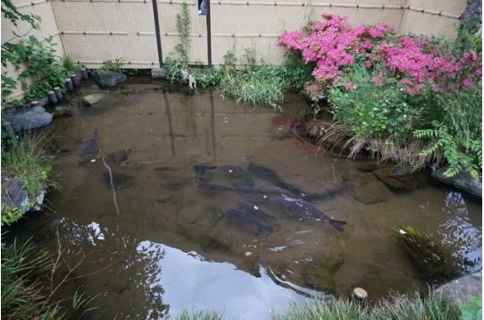 ●池をぴょんぴょん飛び跳ねていた鯉・・
