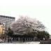 春。上智大学前の桜