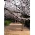 春。上智大学横桜並木